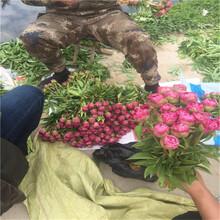 芍药苗种植详细栽培种植方法有几种图片