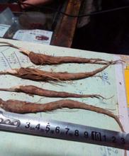 白芍种苗种植效益怎样保证成活率图片