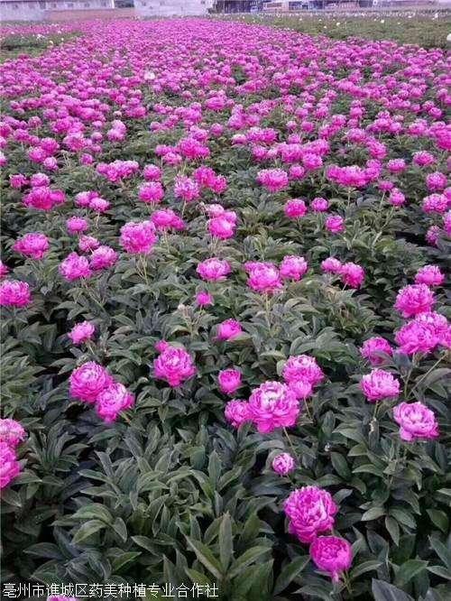 白芍种苗种植效益怎样保证成活率