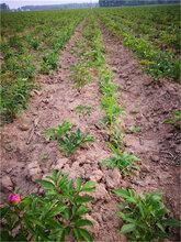 白芍种苗亩种植欢迎实地考察图片