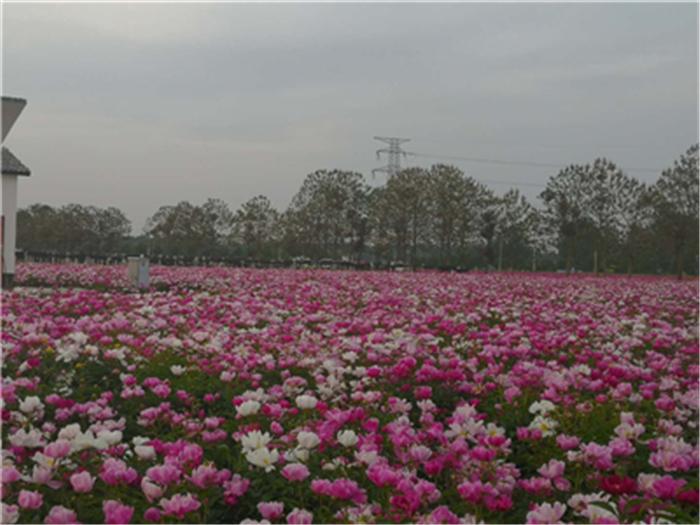 白芍种苗处理方法美中材种植