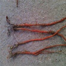 芍药种植方法和维护芍药基地药美图片