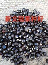绿源文冠果专业合作社常年大量批发文冠果种子文冠果种子出芽率高图片