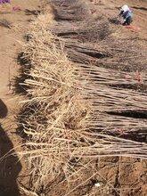 重慶3公分文冠果樹苗基地直銷圖片
