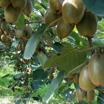猕猴桃——遗落山间的灵果