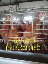 寧夏各日齡海蘭褐,海蘭灰,青年雞圖片