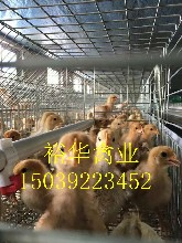 湖北各日齡青年雞,包產量,包產量圖片
