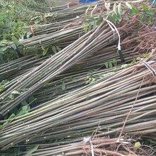 泰山红油香椿树苗山东便宜香椿树苗大棚香椿树苗价格大棚香椿产量