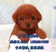 广州黄浦区哪里有狗场黄浦区哪里买泰迪熊好泰迪熊多少钱一只