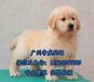 汕頭市賣狗的地方汕頭市哪里買金毛好金毛犬一只多少錢