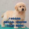 广州买金毛犬价格