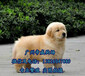 汕頭買狗去哪里好汕頭哪里有賣金毛狗金毛一只多少錢呢
