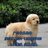广州买狗一般在哪里比较多广州哪里有卖金毛犬的金毛犬价格多少