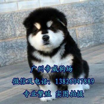 东莞哪个区有卖狗东莞买阿拉斯加好阿拉斯加一只多少钱