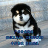 东莞一般去哪里买狗好东莞哪里有卖阿拉斯加阿拉斯加价格多少