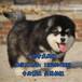 珠海哪里有狗场珠海哪里有卖阿拉斯加犬