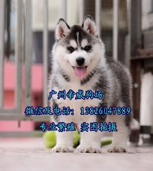 广州南沙区买狗去哪里南沙区哪里有卖哈士奇哈士奇一只多少钱