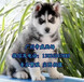 珠海买狗去哪里好珠海在哪里有卖哈士奇犬