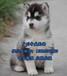 东莞评价好的犬舍,东莞哪里有卖狗,哈士奇价格多少