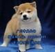 东莞哪有宠物狗卖,东莞卖狗的地方,柴犬多少钱一只