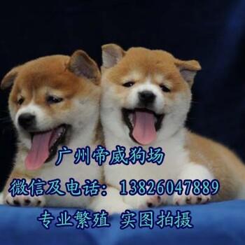 东莞市卖狗的市场东莞哪里有卖纯种柴犬