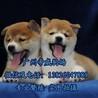 广州柴犬价格多少