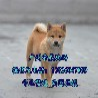 广州市区有没有犬舍天河哪里买柴犬好血统柴犬一只多少钱