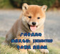 中山哪买狗好一点,中山买柴犬价格,柴犬多少钱一只