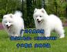 广州黄埔有没有狗场黄浦区哪里买萨摩耶好萨摩耶多少钱一只