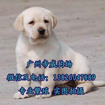 中山比较出名的狗场中山哪里有卖拉布拉多犬