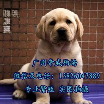 广州哪有大型狗场,广州买拉布拉多好,拉布拉多多少钱一只