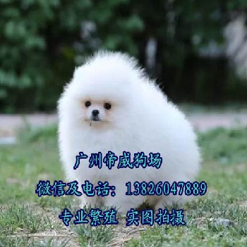佛山南海区宠物市场,南海区哪里有卖狗的,博美犬价格