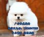 广州芳村哪里有狗市,广州荔湾区买狗去哪里,博美犬价格多少
