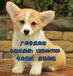 珠海哪里有卖狗市场珠海在哪里有卖柯基犬