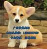 广州市区有没有狗场广州哪里买柯基好柯基犬价格多少