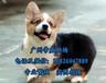 柯基犬多少钱一只,中山哪里有狗场,广州柯基犬价格多少