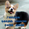 广州越秀区有没有犬舍越秀区哪里买柯基好柯基犬多少钱一只