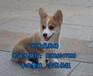 中山柯基犬出售,中山哪里有卖柯基犬,柯基犬价格多少