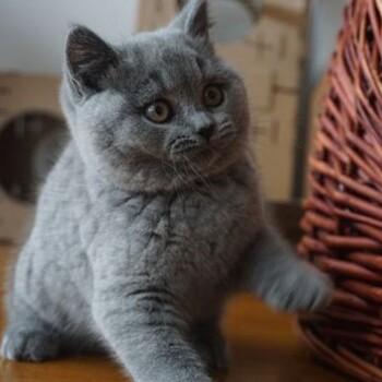 广州哪买猫好广州哪里有卖短毛猫英国短毛猫价格多少