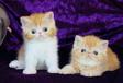 加菲猫多少钱一只广州哪里?#26032;?#21152;菲猫加菲猫好不好养