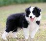 廣州黃埔賣狗的地方黃埔買邊牧價格貴不貴邊牧好不好養圖片