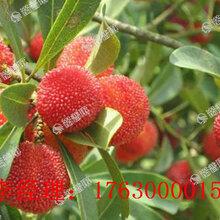 楊梅亮色果實飽滿就用楊梅葉面肥