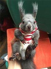 宠物松鼠哪里有松鼠养殖场小松鼠价格批发松鼠魔王松鼠图片