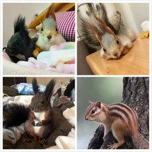宠物松鼠哪里有松鼠养殖场小松鼠价格批发松鼠图片