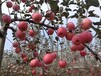 批發零售漿水蘋果等特產,口感好無殘渣,產地直銷