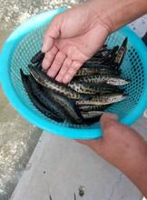2020黑鱼养殖那家强图片
