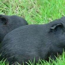 華豚生態農業黑豚養殖的發展前景圖片