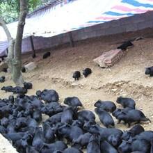 華豚生態農業黑豚養殖合作的保障圖片