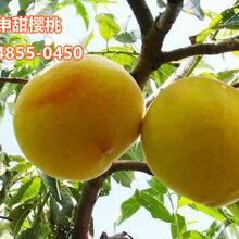 晚熟的黄金蜜4号价格--黄桃树苗批发图片