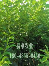 蜂糖李树苗价格,德阳蜂糖李树苗价格,2公分蜂糖李苗价格图片